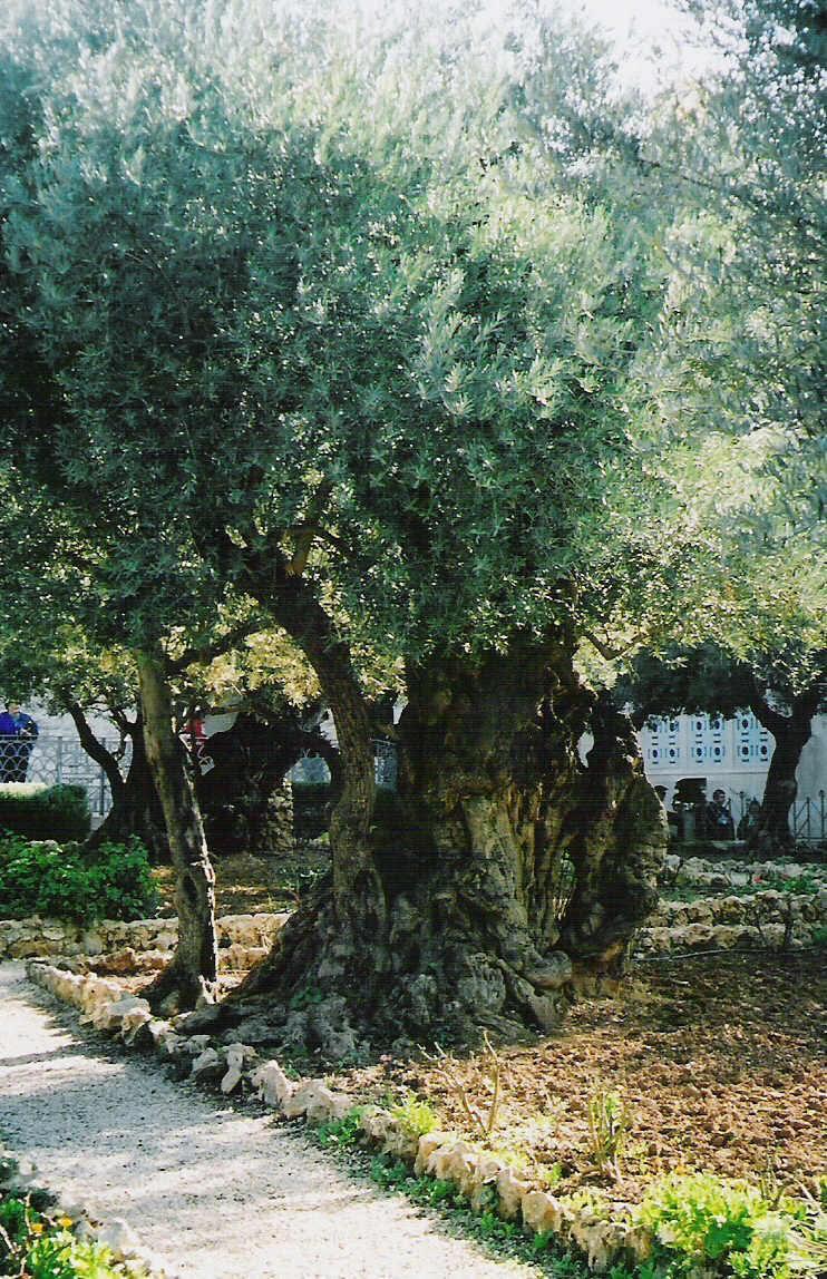 mount-of-olives-olive-tree-holy-land-tours.jpg