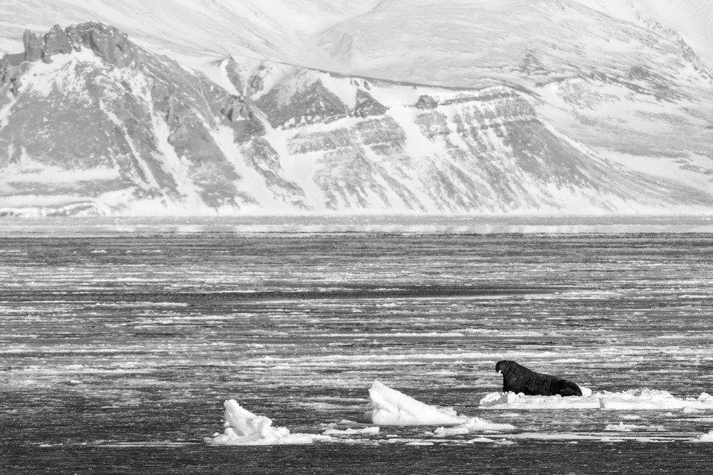 Walrus // Arctic