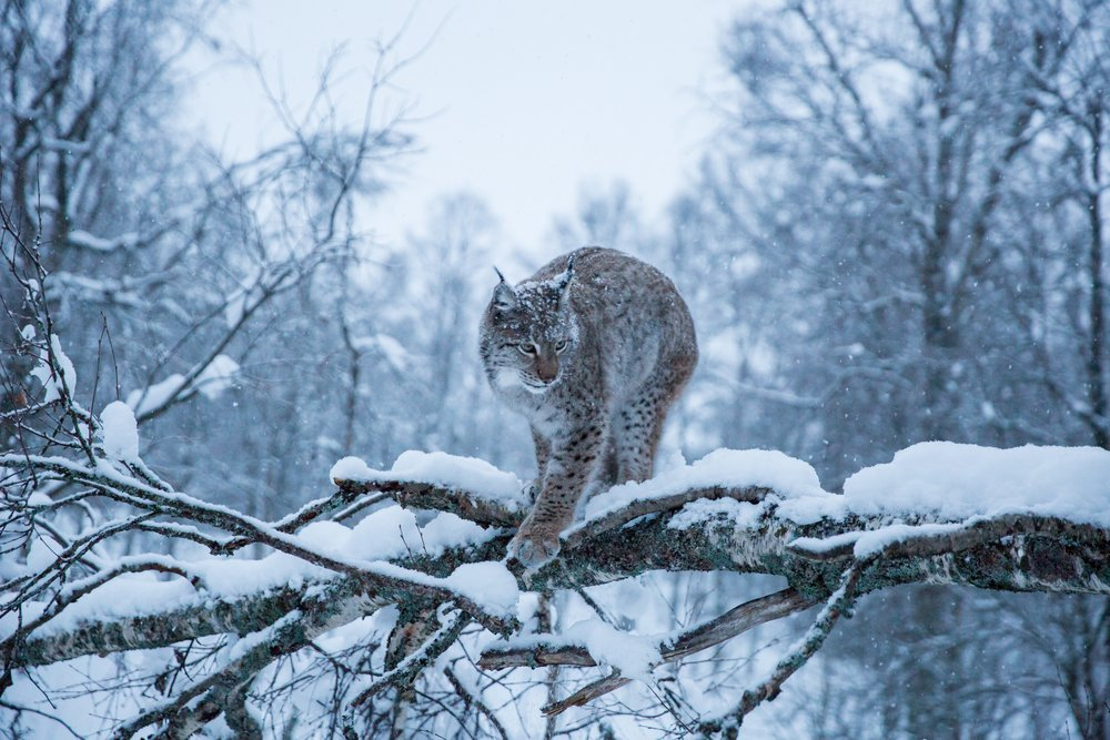 Lynx // Northern Norway