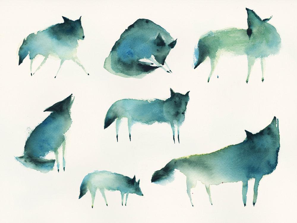 CindyDerby_Coyotes.jpg