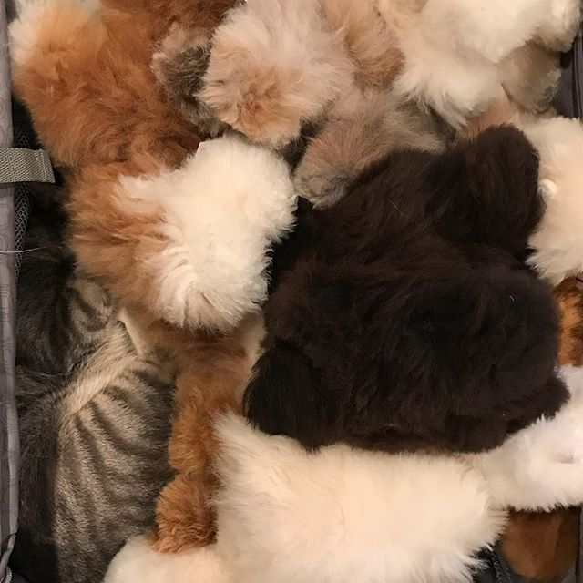 Here you will spot our coworker doing what everyone says that they want to do: roll around with all the alpaca stuffed animals.  #work #cats #manx #manxcat #alpacastuffedanimals #alpaca #stuffedanimals #alpacalove #cats #catlover #soft #sosoft #alpacalove #stuffedanimalcollector #collection #inventoryproblems #catproblems
