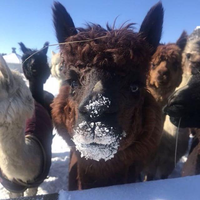 Anyone else got the winter blues? ❄️ Repost: @alpacasofinstagram  #alpaca #alpacas #snowhead #slopestyle #colorado #alpacalove #alpacalover #ilovealpacas #shabbyalpaca #shopshabby #alpacamybags #alpacabag #shabbylove
