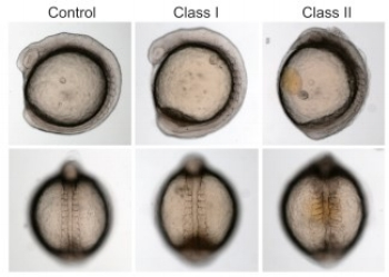 ***Representative live images of ft74 morphant zebrafish embryos at the mid-somitic stage (top, lateral; bottom, dorsal) display gastrulation defects typical of IFT and other ciliary gene suppression models