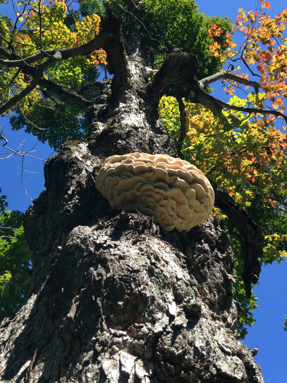 Northern Tooth mushroom
