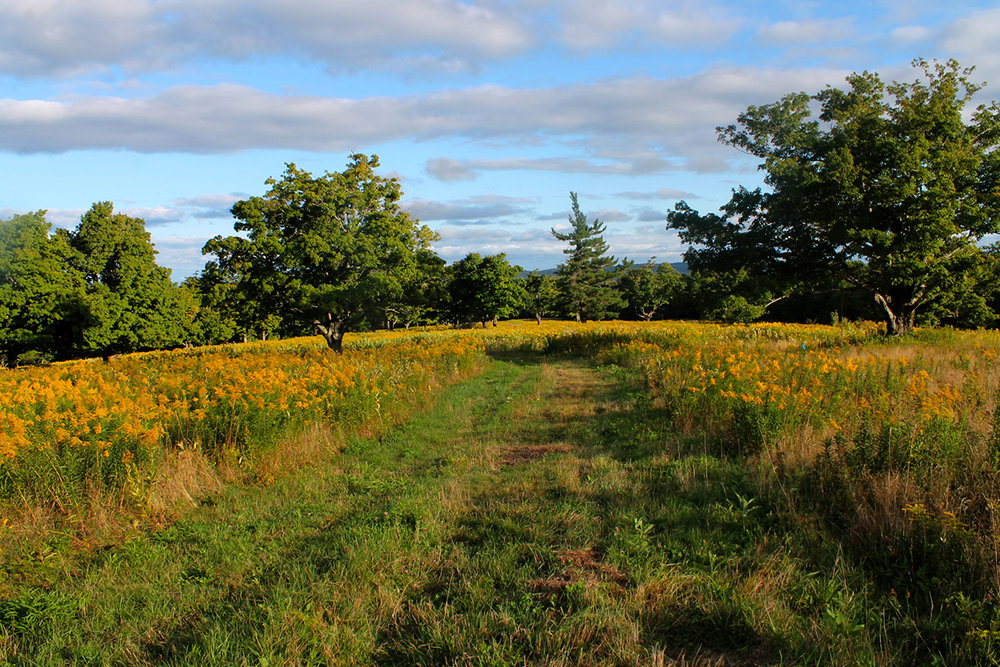 Goldenrod, Upland Farm (Bates Field)