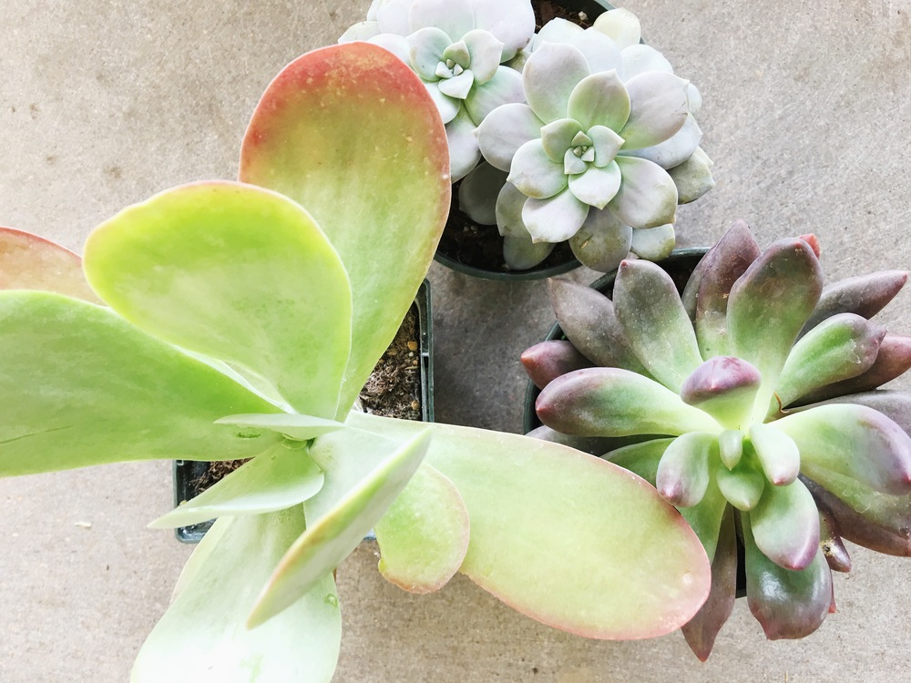 Higher Light Succulents