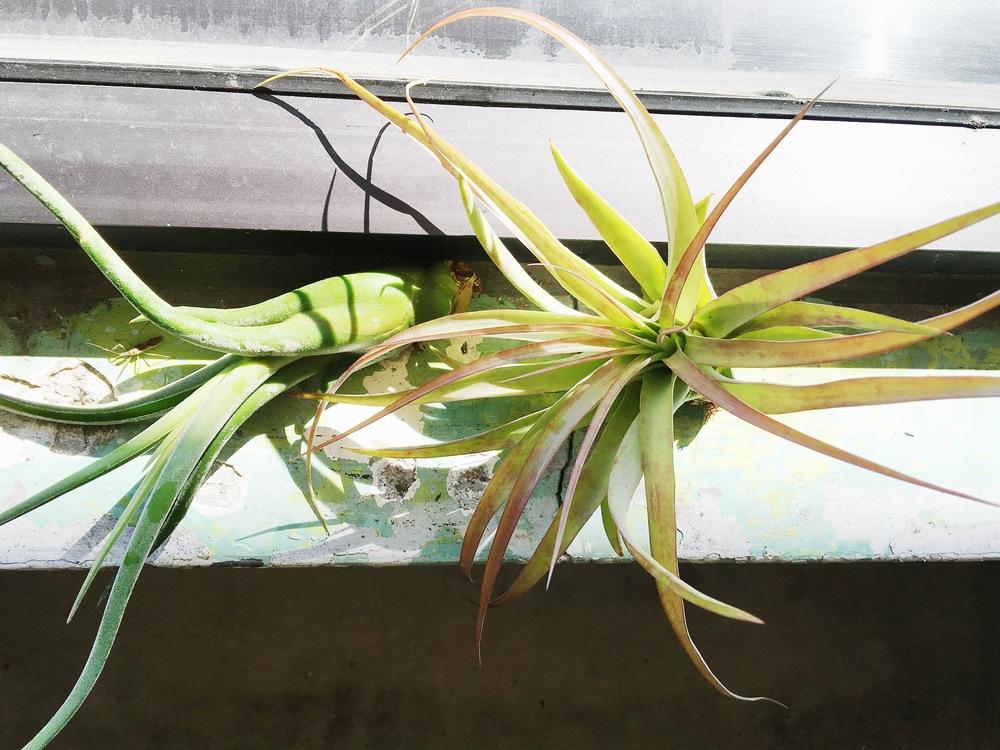 sunshineairplant