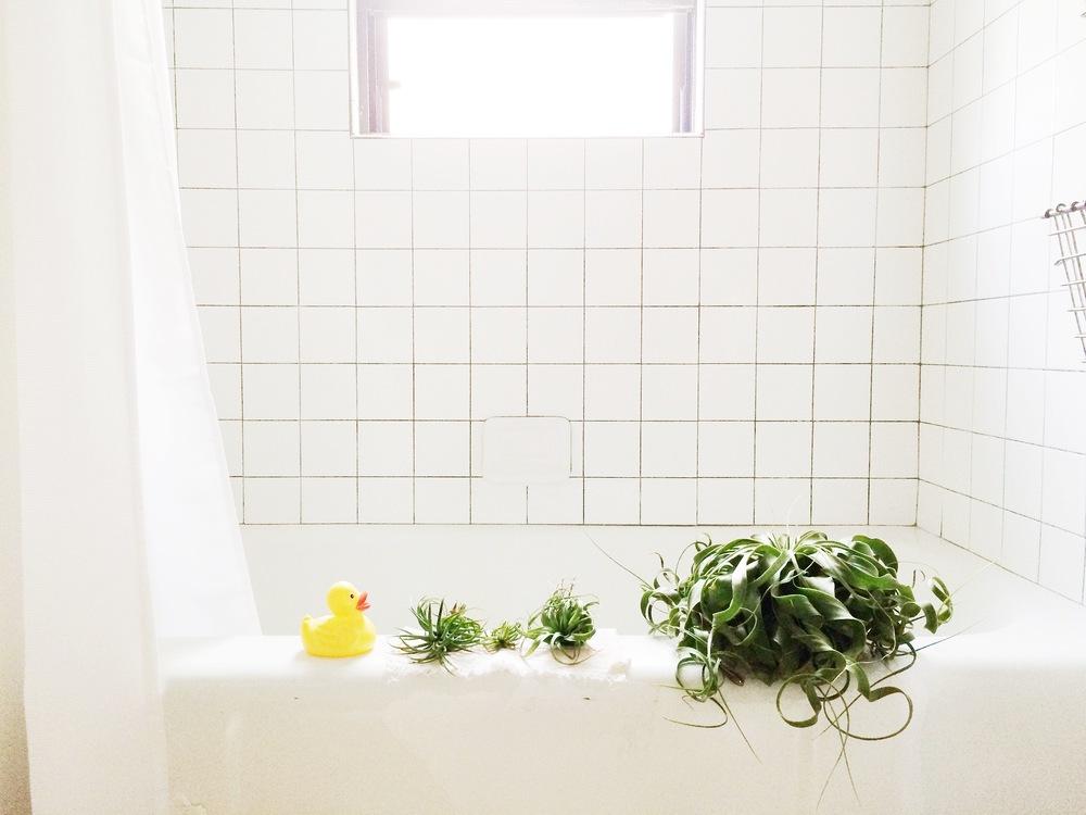 air plant bath
