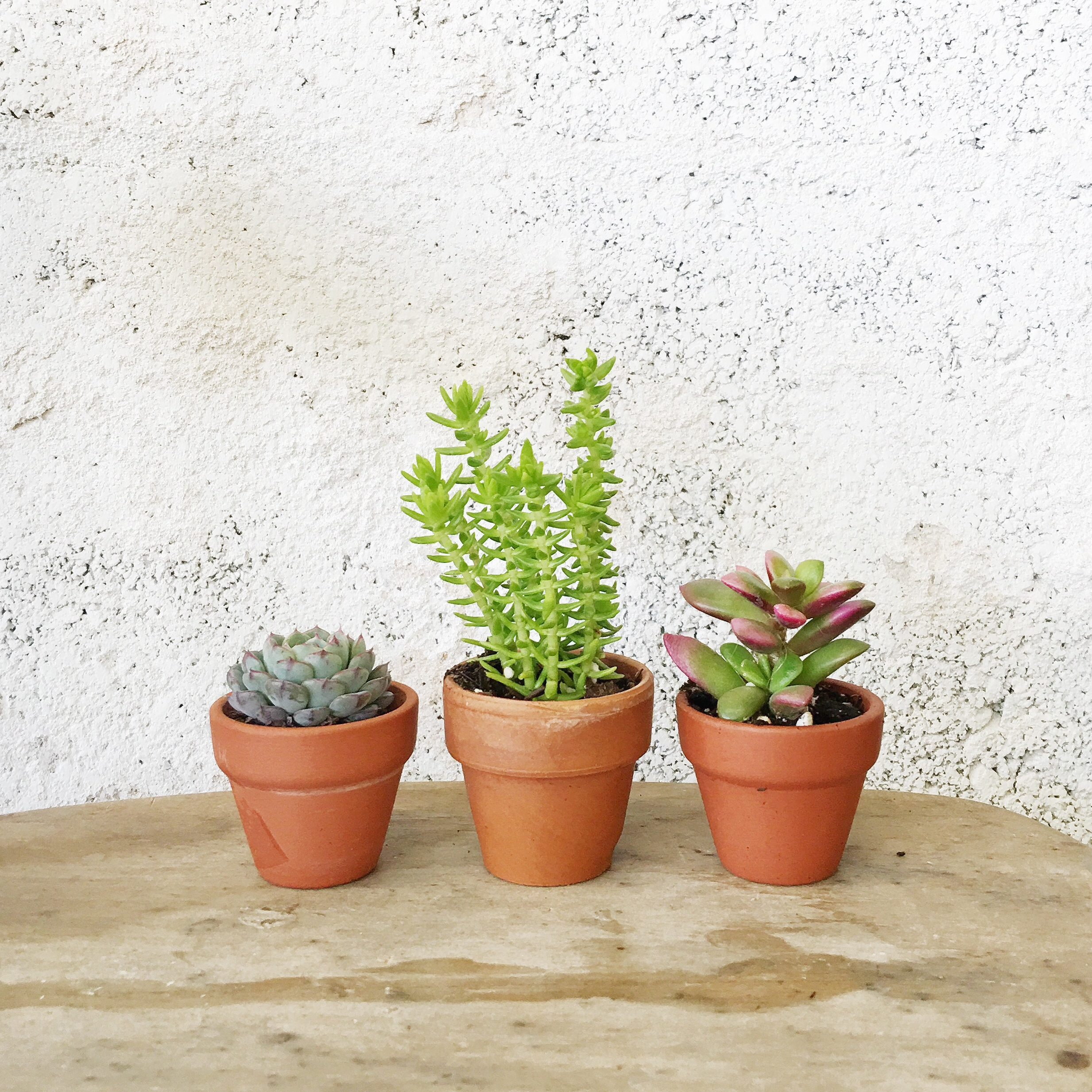 Succulent Care Guide: Succulents That Need More Water