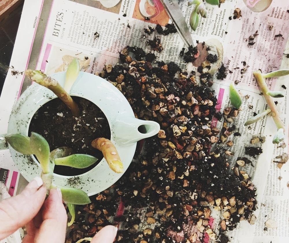 plantingsucculentpieces