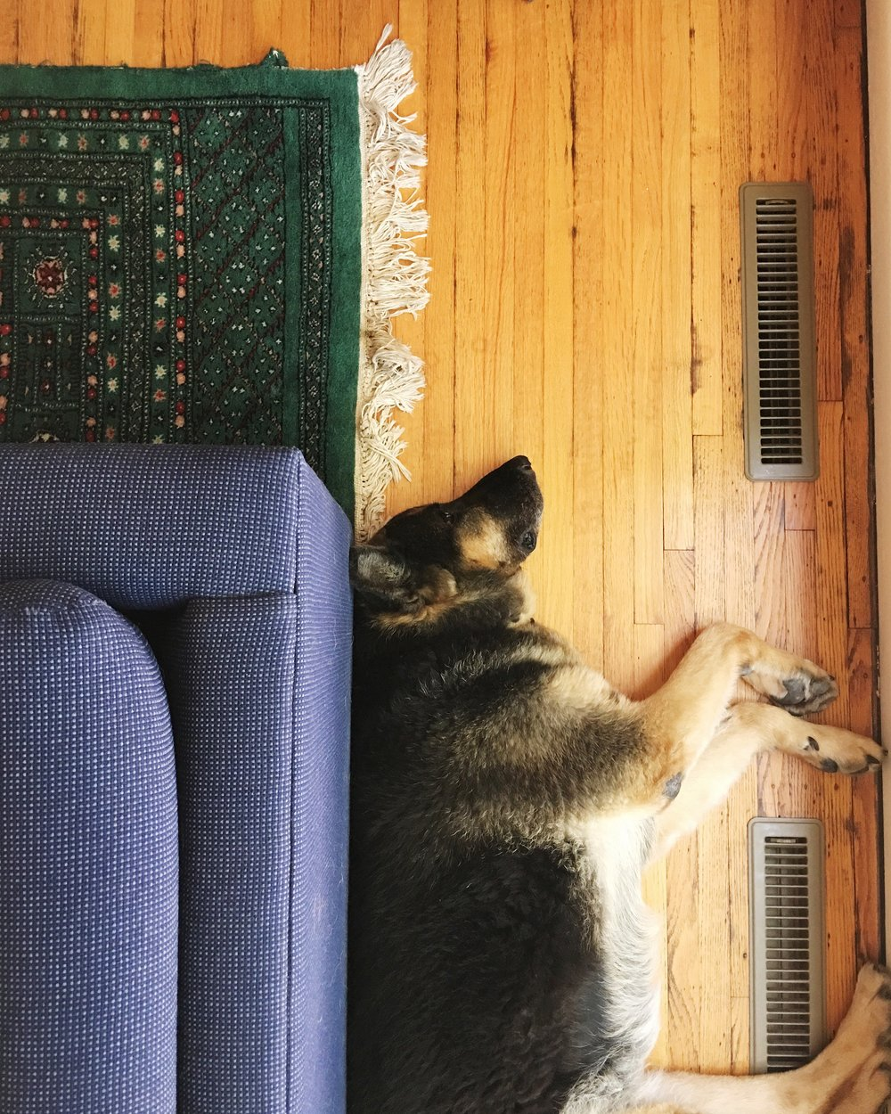 Our German Shepherd Sagan snoozing nearby
