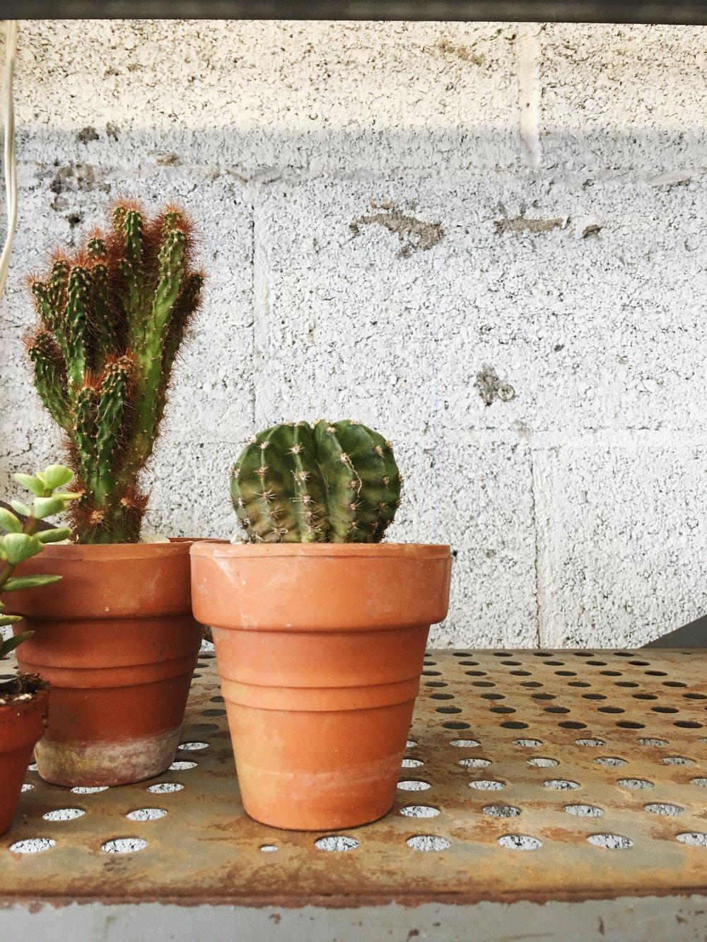 apple-cactus