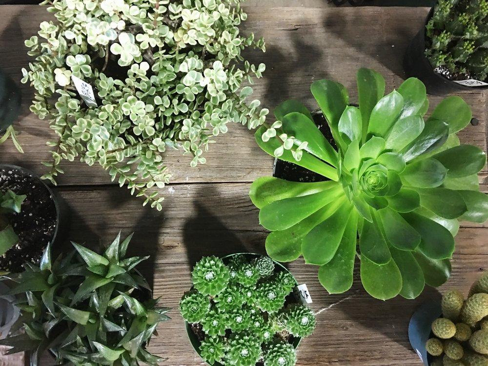 succulents + aeonium