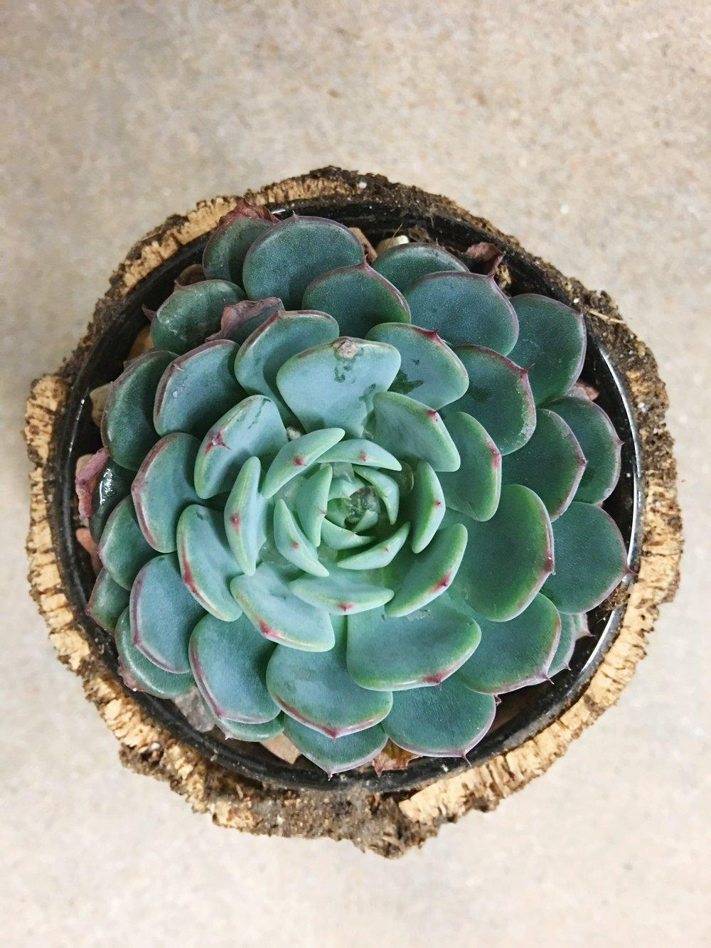 blue high light succulent