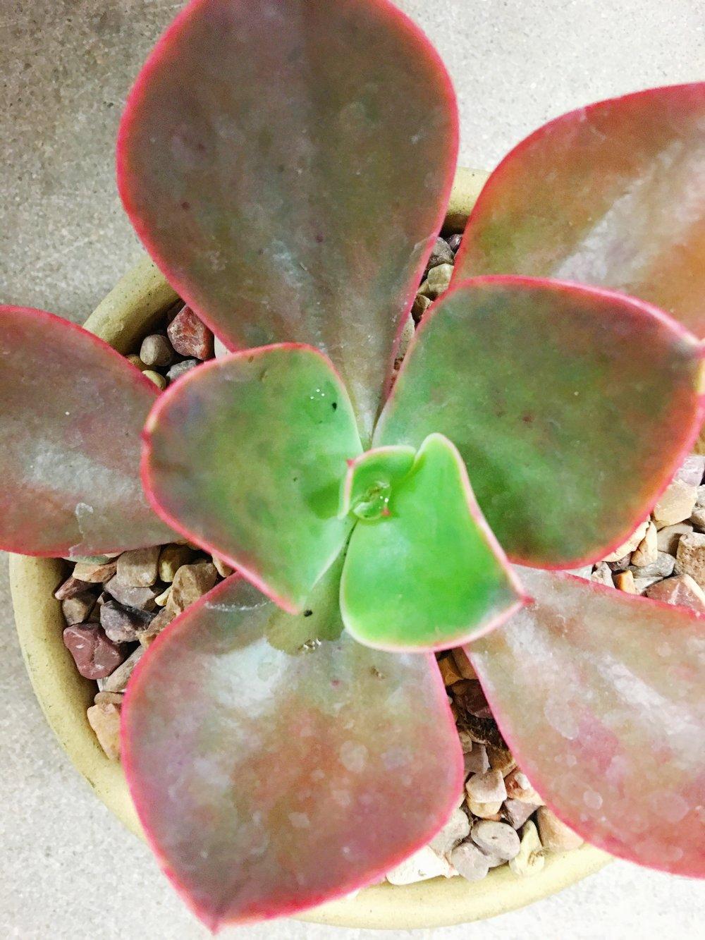red high light succulent