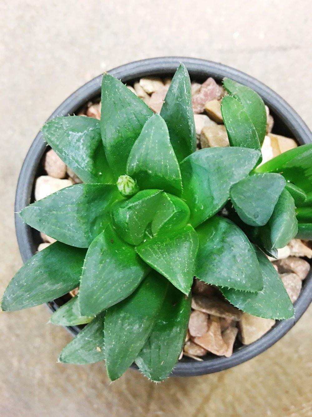 low light succulent