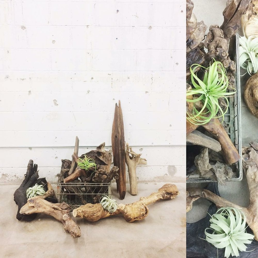 Driftwood is one of our favorite ways to display air-plants. Just sit them on top or cozy them up in the bends and crevices of the wood. Such a natural, beautiful display for your table or shelf.