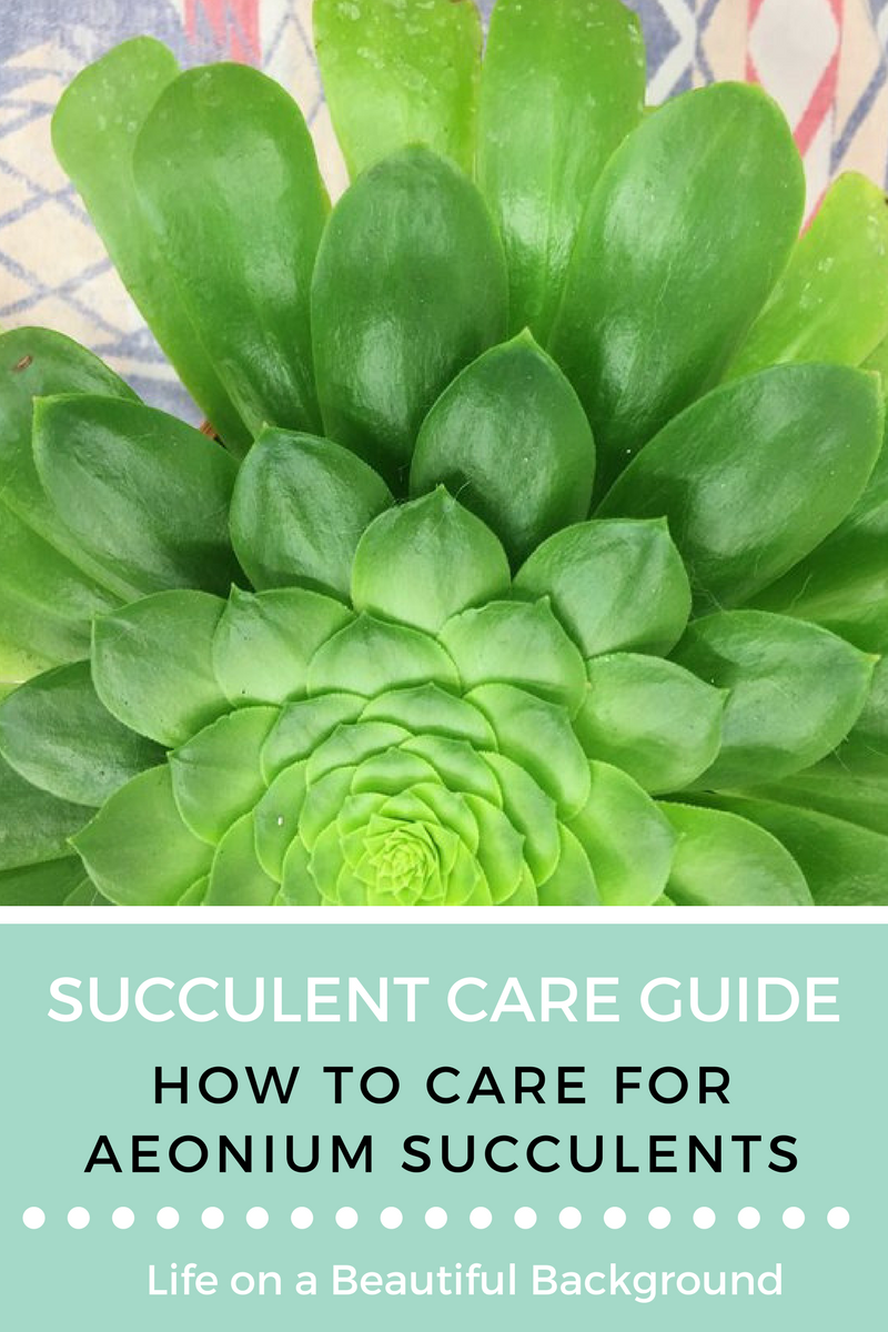 how to care for aeonium succulents