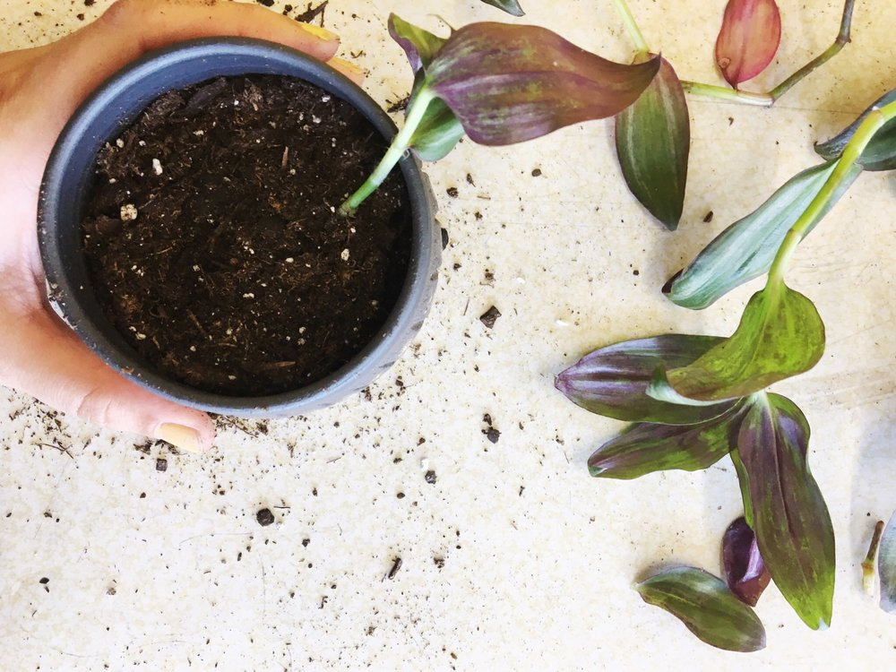 inch plant propagation