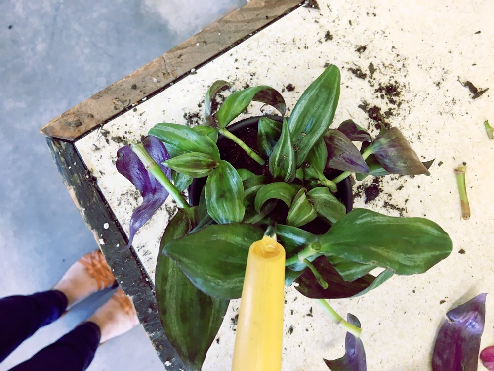 purple heart plant guide