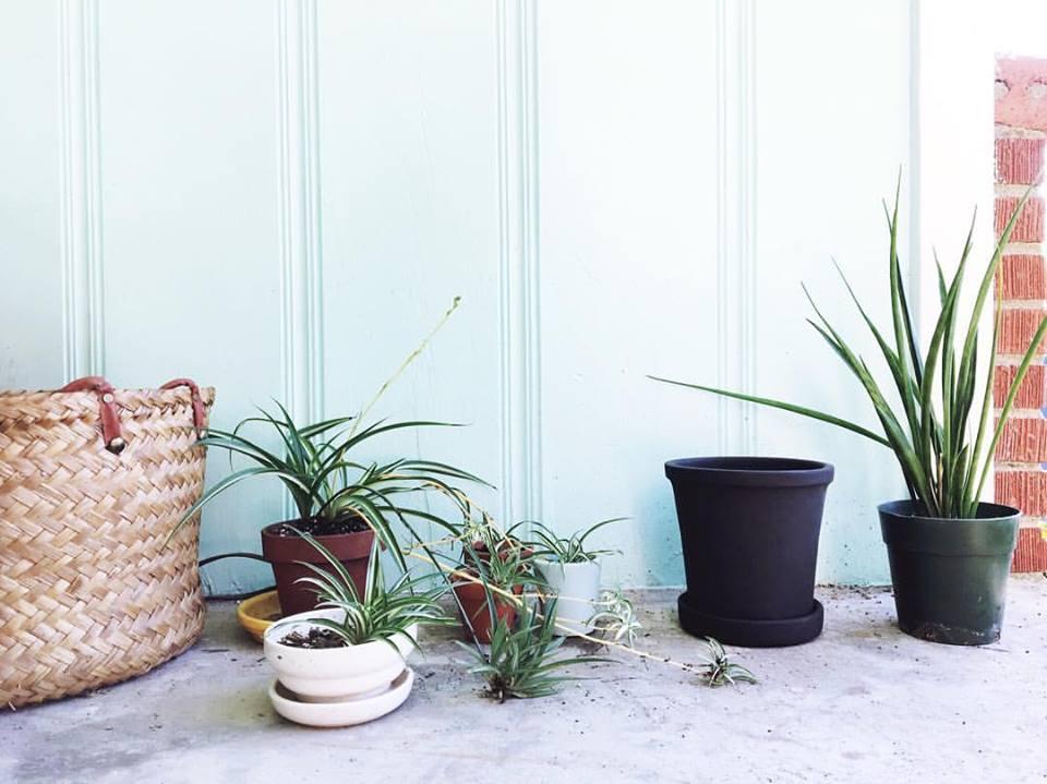 spider plant + snake plant