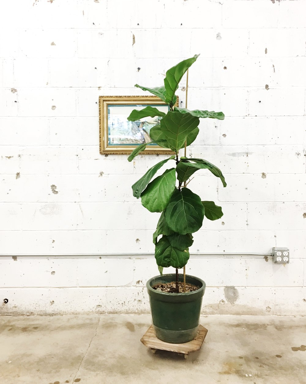 here is our fiddle leaf fig tree getting ready to be beheaded terrifying and exciting