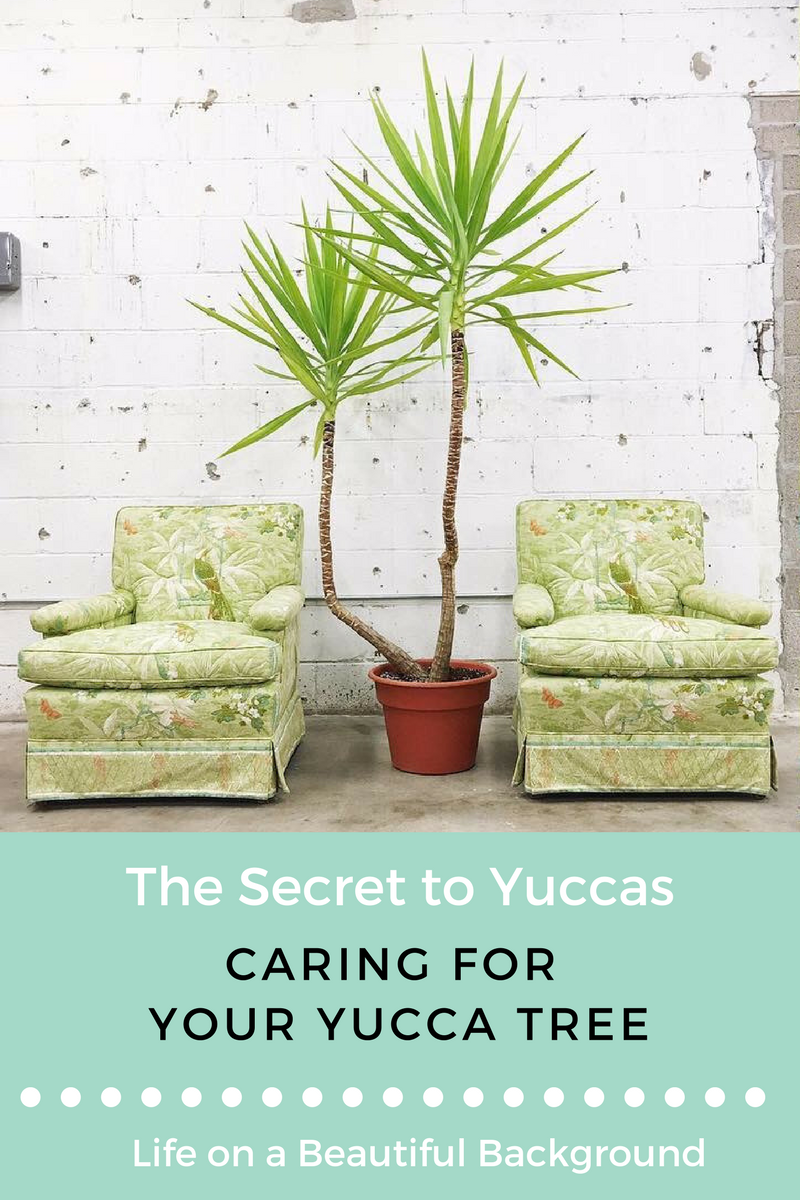 yucca care guide