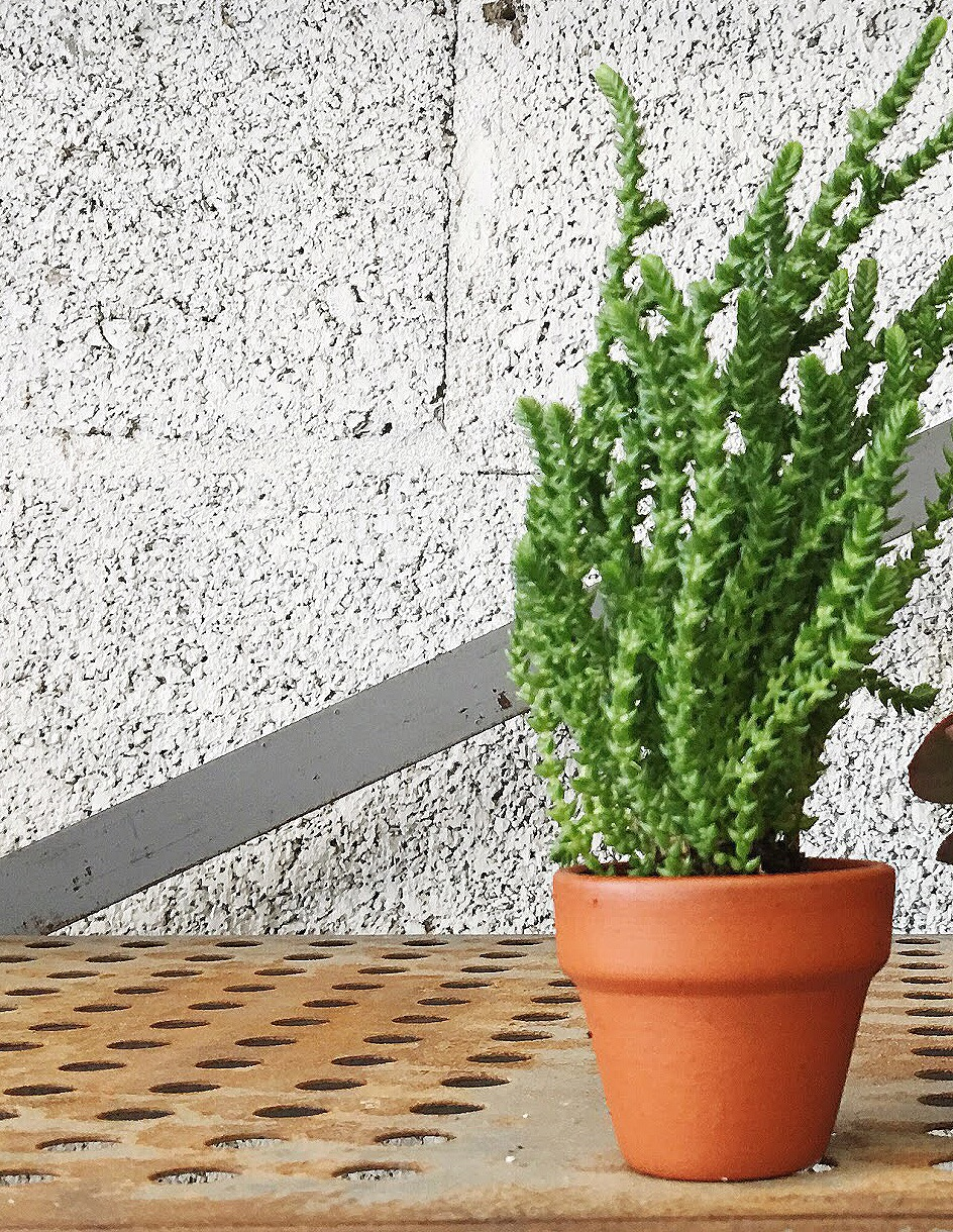 tiny leaf succulent.JPG