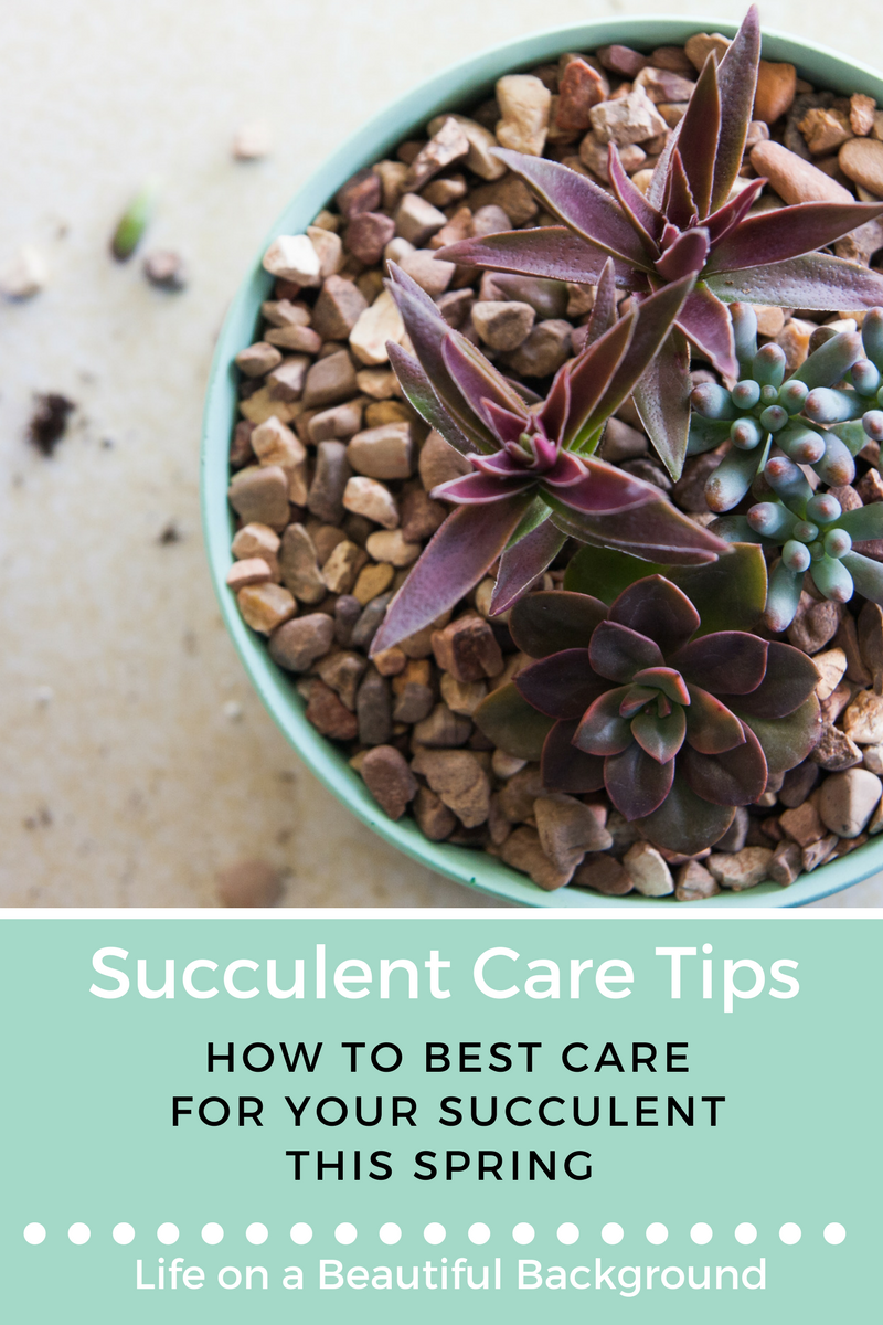 how to best care for your succulent this spring.png