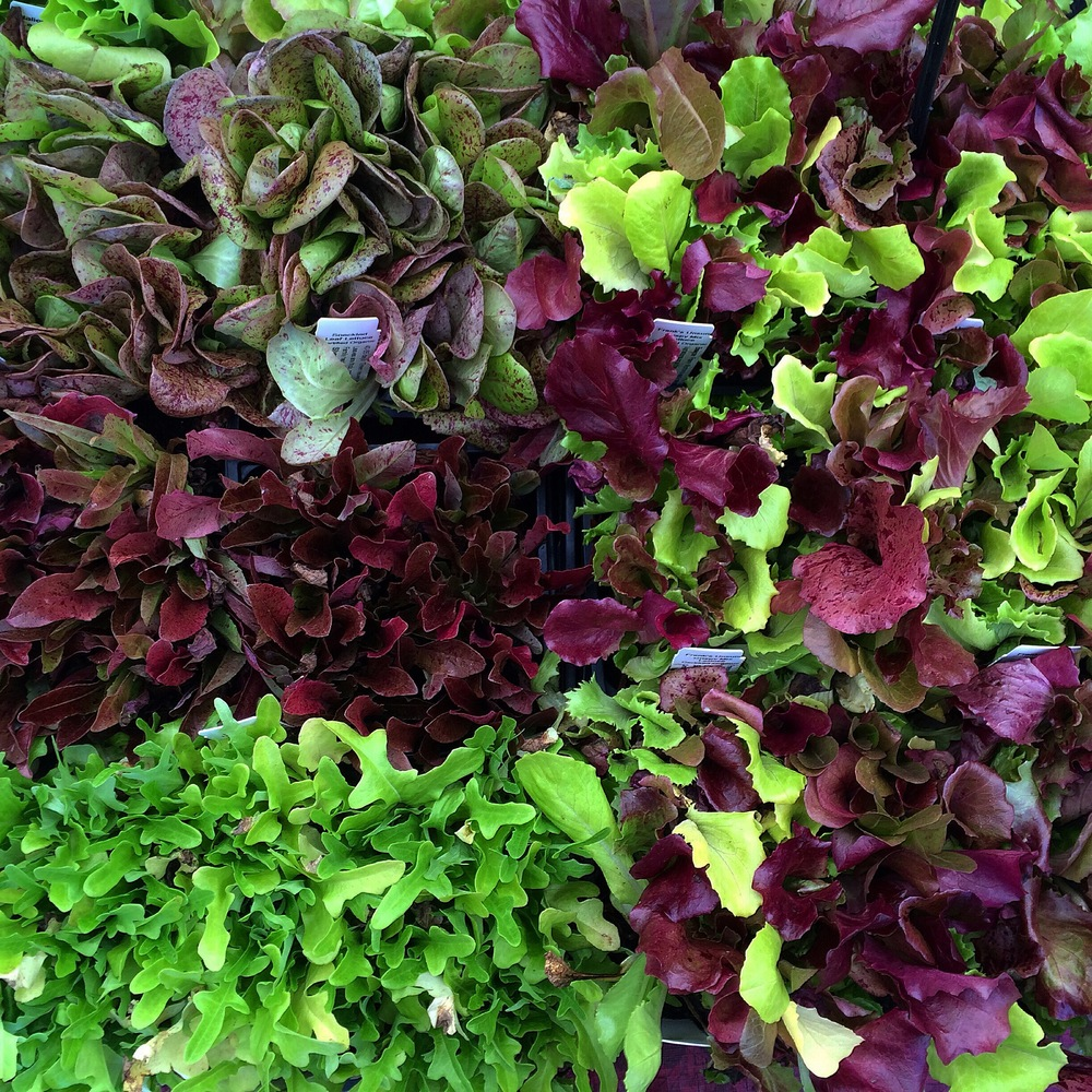 Baby Lettuce Mix at Union Square Greenmarket