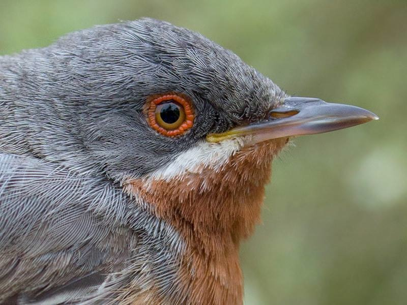 Adult male Eastern Subalpine Warbler  Sylvia cantillans albistriata  (Falsterbo, Sweden)