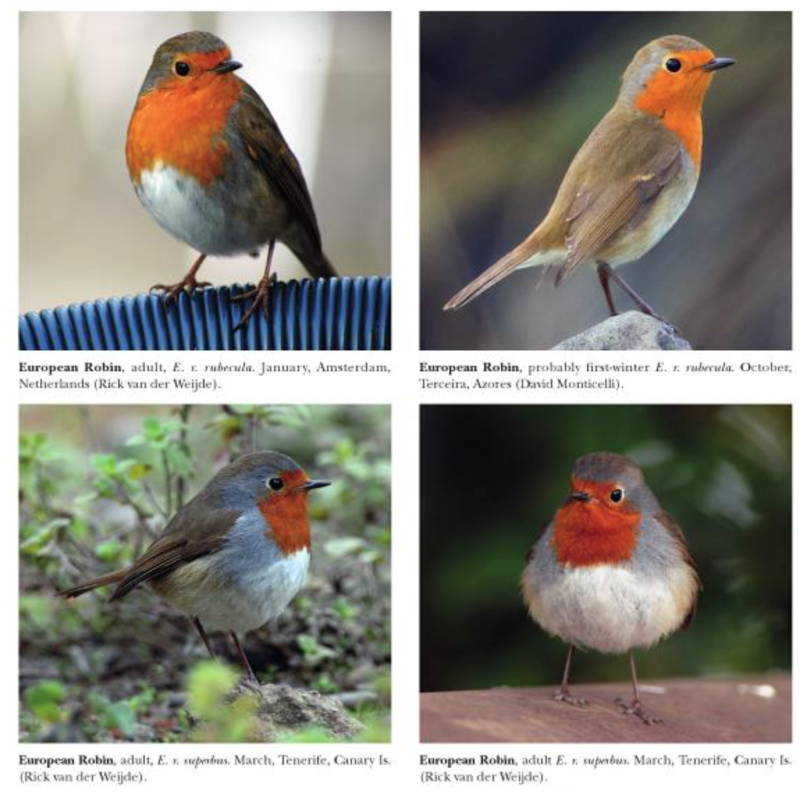 European Robin, from Clement & Rose (2015). Robins and Chats,  Bloomsbury.
