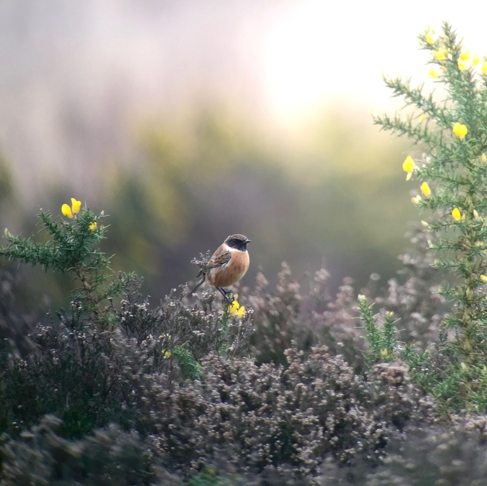 European Stonechat, male