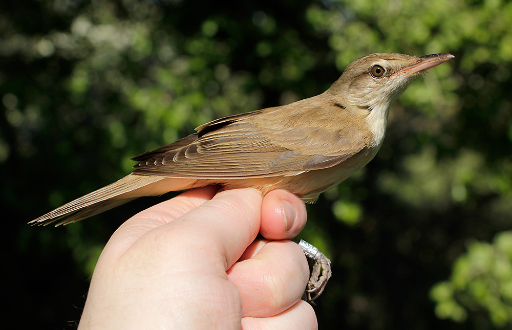 Great Reed Warbler. This one's only a teeny-tiny one. They can get about 10% bigger.