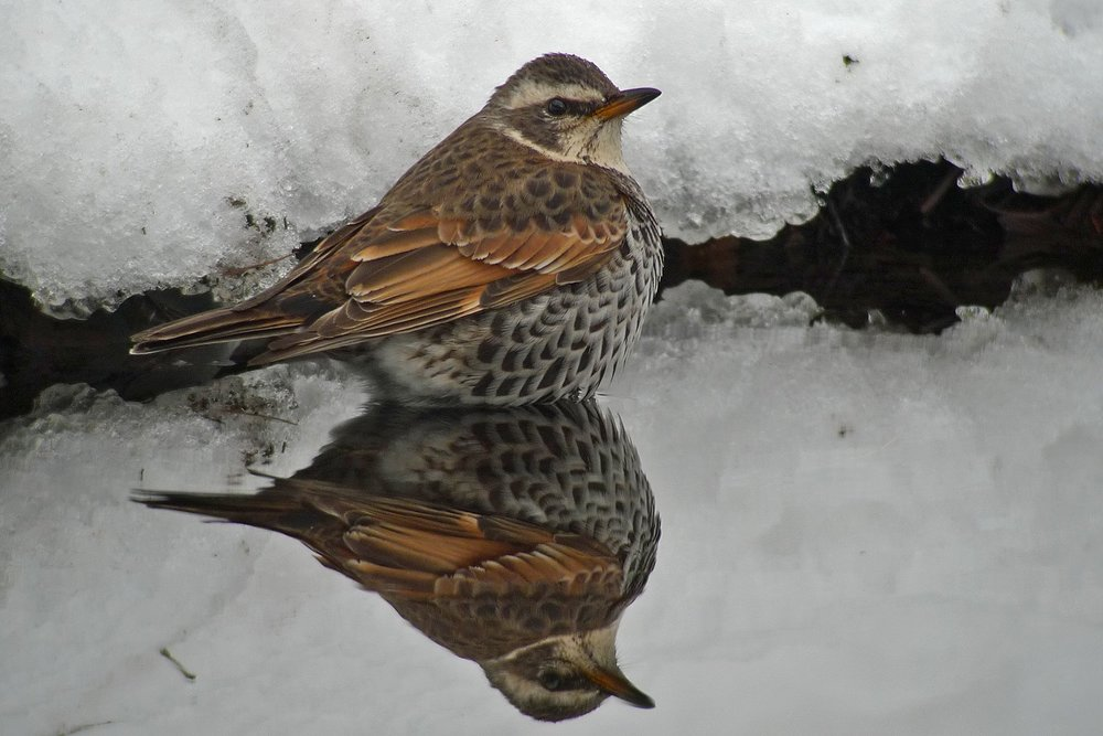 "2cy (""first-winter"") male Dusky Thrush, February © Pete Morris. This bird is referred to in the discussion below as ""Pete's bird"""