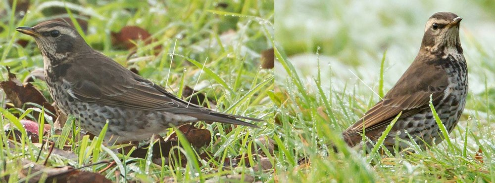 "1cy (""first-winter"") female Dusky Thrush, Derbyshire, December © Mike Watson"