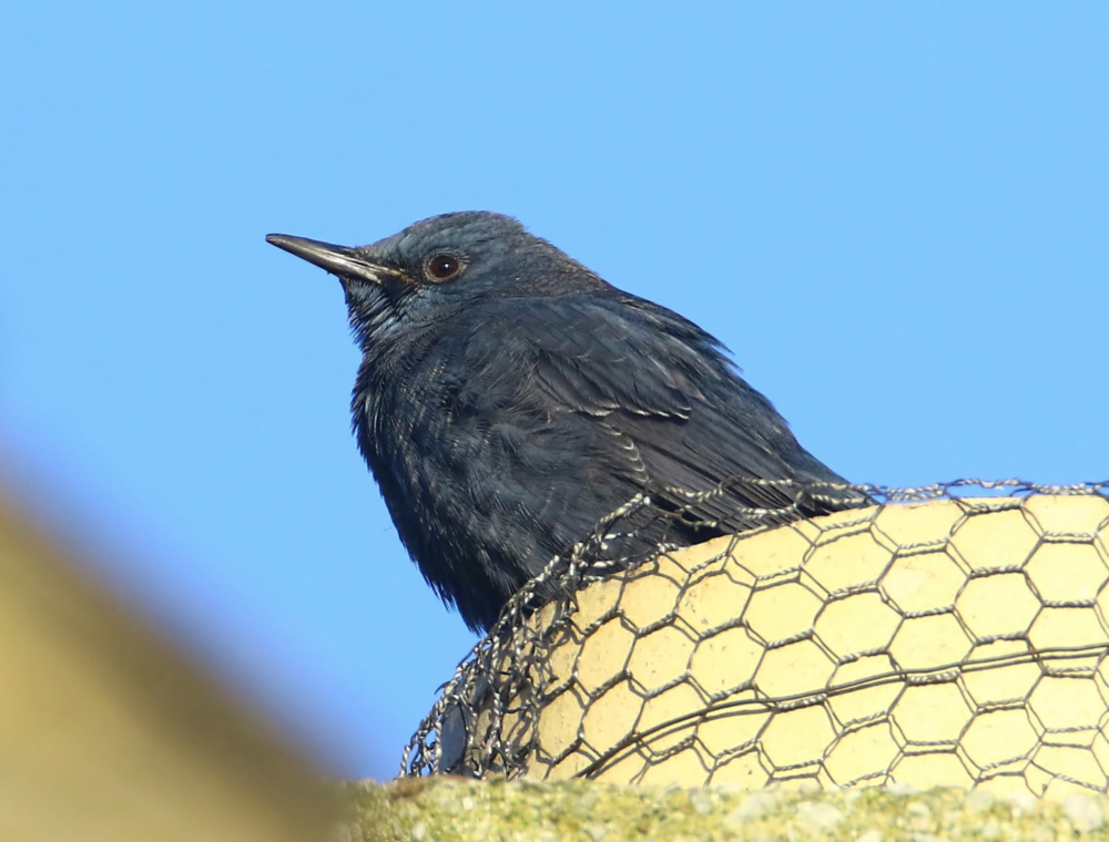 Adult male Blue Rock Thrush, Gloucestershire, December 2016 © Lee Fuller