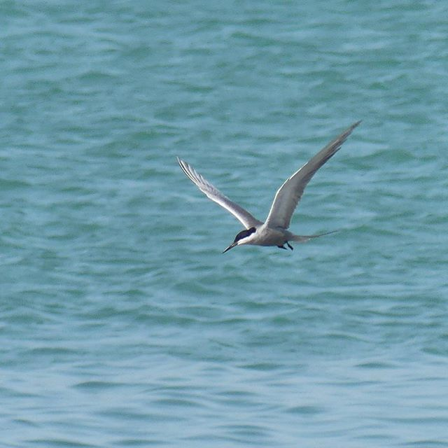 White-cheeked Tern #UAE #Fujairah #birds #birding
