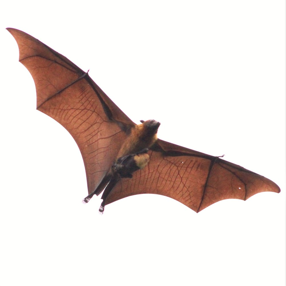 Fruit bat.jpg