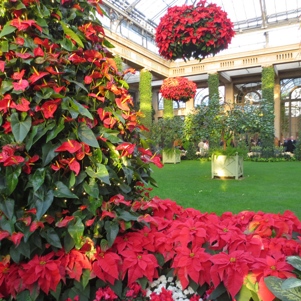 Flamingo flowers (left) are potted into the shape of a Christmas tree in the Orangery. Poinsettias hang from the ceiling and adorn the the walkways.