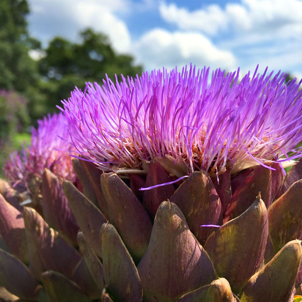 Who would have thought an artichoke would be so beautiful once it bloomed?