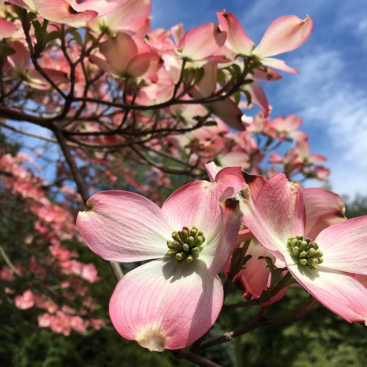 BethColletti_Hersehy_Gardens_dogwood.jpg
