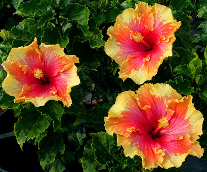 palm-springs-hibiscus.jpg