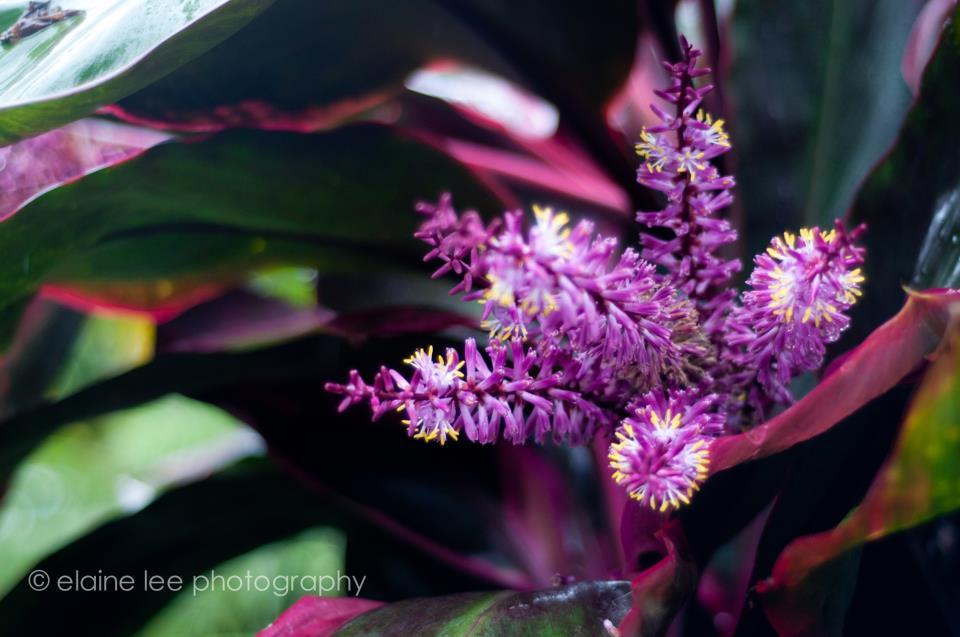 cordyline-bloom-jpg
