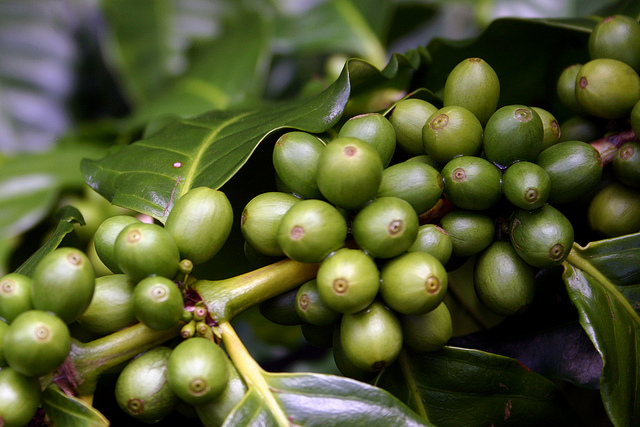 12-ripening-coffee-fruit-jpg
