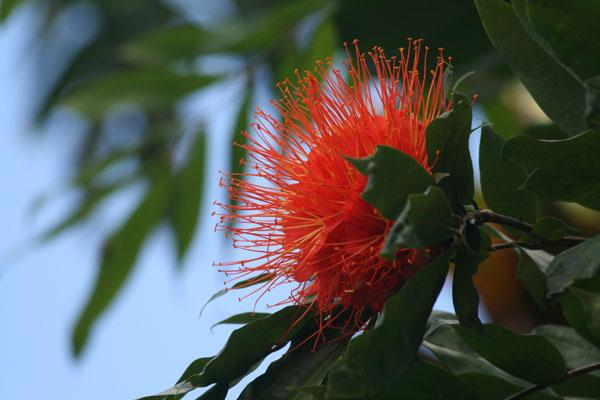 Brownea-macrophylla-panama-flame-flower