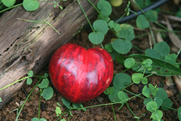 Godscrown fruit