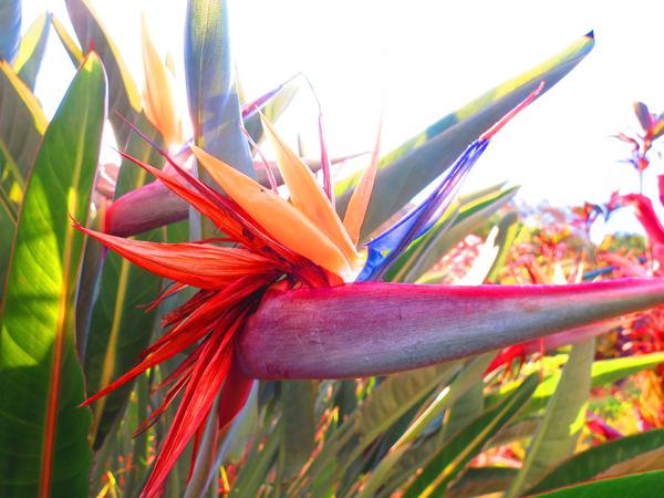 bird-of-paradise-png
