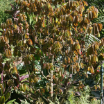 african-nutmeg-tree-150x150.png