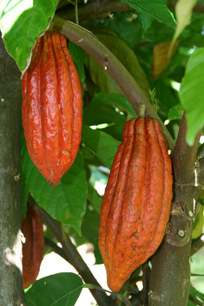 4-ripening-orange-cacao-pods.png